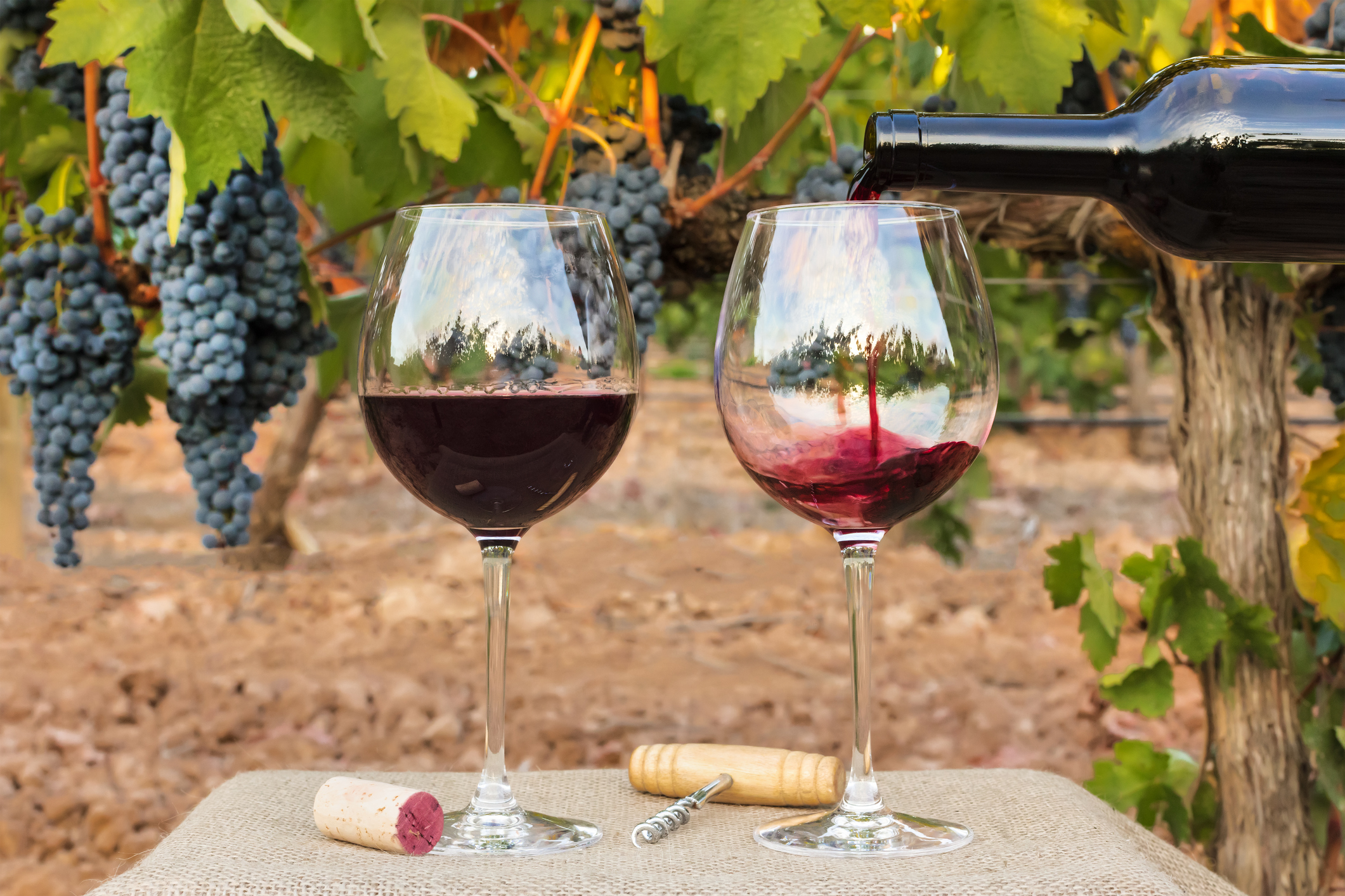 Photo of red wine poured into glasses from bottle on blurred background of a vineyard right before harvest, with hanging branches of grapes. With cork and vintage corkscrew